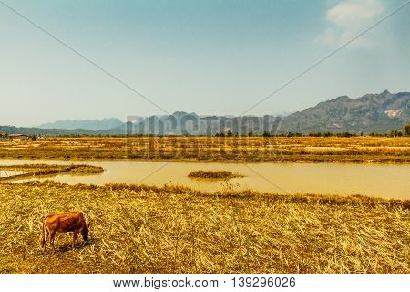 A cow grazes in a golden field with mountains in the distance in the countryside of Laos