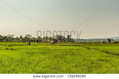People ride a bicycle through the green rice fields of rural Laos
