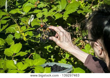 Woman picking wild blackberries from a bush.