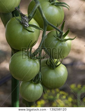 Bunch of green tomatoes growing on a bush in the garden in the garden