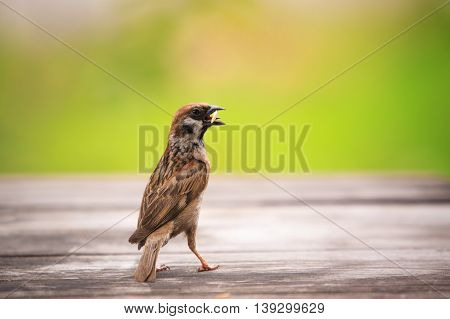 eurasian sparrow and paddy in mouth standing on wood table with green blur background