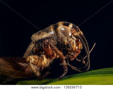 Portrait of a cricket on a dark background macro