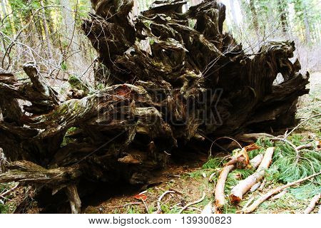 Tree root In Calaveras Big Trees State Park, Sequoia National Forest