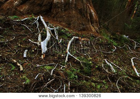 Wooden branches On the ground In Calaveras Big Trees State Park, Sequoia National Forest