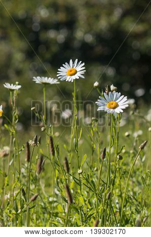 summer meadow with common daisy flowers in bloom