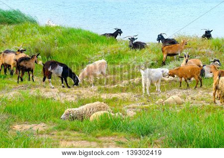 domestic goats grazing on pasture and lawn