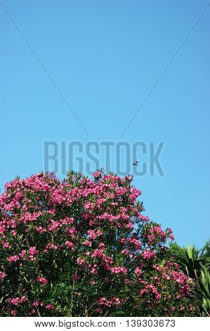 Blooming pink oleander against the backdrop of a cloudless sky
