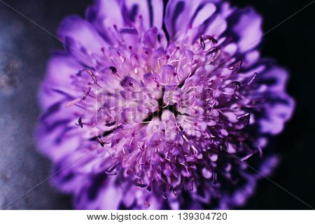 Great purple aster closeup, floral background. Blooming violet michaelmas daisy backdrop