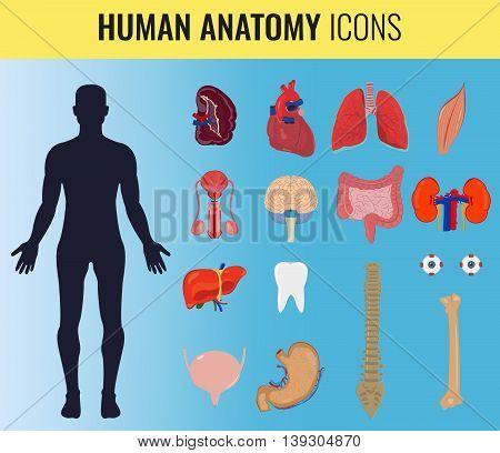 Human internal organ anatomy set. Vector illustration