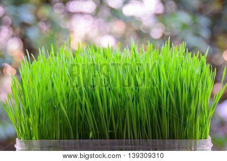 fresh green wheat seedlings on blurred background
