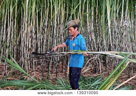 Asian Farmer Harvesting Sugarcane