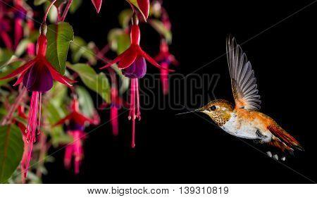 Hummingbird feeding from beautiful tropical hardy fuchsia flower