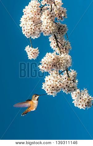 Tree in full white blossom and Hummingbird on sunny day in spring vertical image