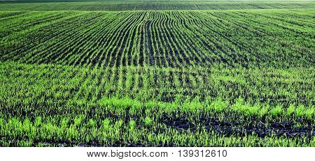 Young sprouts of wheat at a farmers field