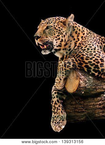 animal portrait leopard closeup lying on a log