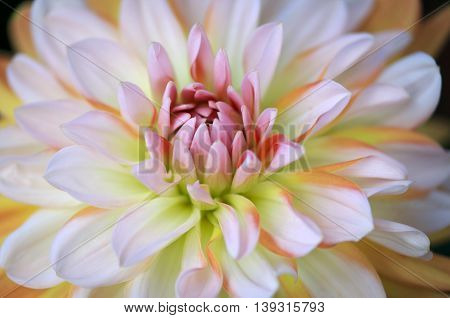 Closeup of a Beautiful Pastel Colored Dahlia Flower