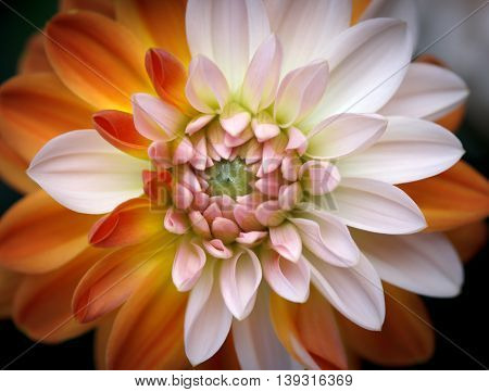 Closeup of a Beautiful Dahlia Flower - Warm Autumn Colorspace