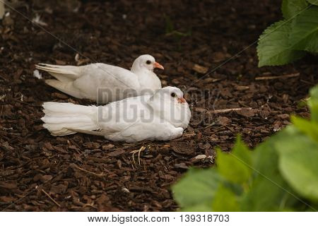 close up of two white doves resting in garden