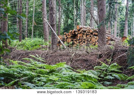 Stack of wood in the woods with ferns on the foregound