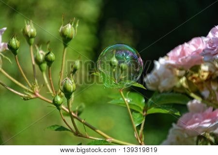Soap bubble on pink rose in nature