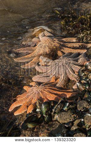 detail of orange reef starfish feeding on green-lipped mussels