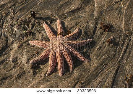 close up of orange reef starfish lying on sandy beach