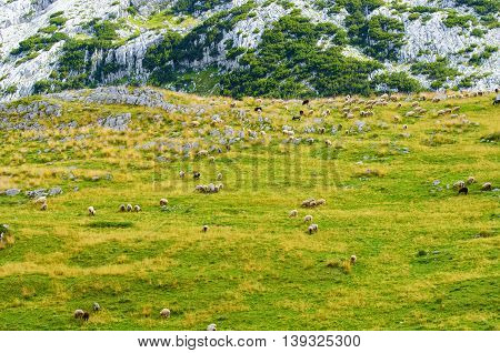Sheeps in a meadow in the mountains.
