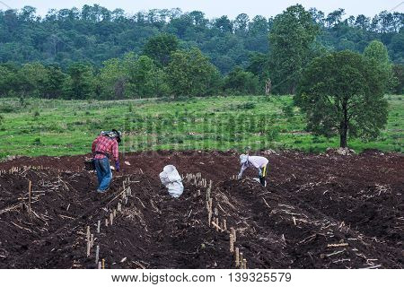 Farmers seedling transplanting of cassava plant into soil for planting in cassava field.