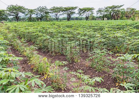 Cassava or Tapioca grow up in farmland agriculture Cassava field.