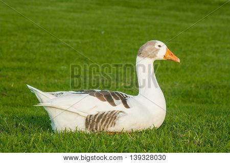 close up of domestic goose resting on grass