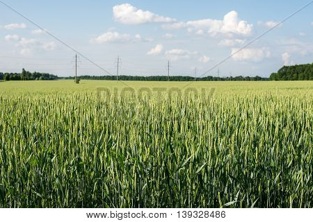 The immature green wheat in the field