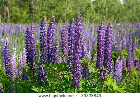 Blooming lupines in late spring, wild forest flowers