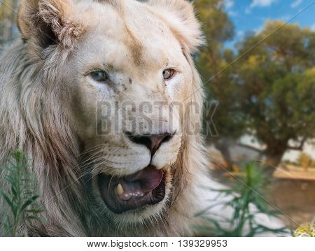 portrait great white lion close-up in nature