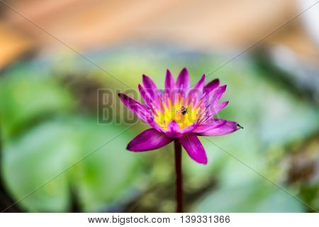 Beautiful purple lotus flower, Violet lotus blooming in the pond, Closeup lotus flower, Lotus violet flower of thailand.