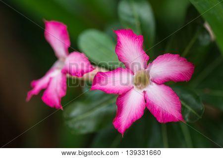 Desert Rose or Impala Lily or Mock Azalea (Adenium obesum)