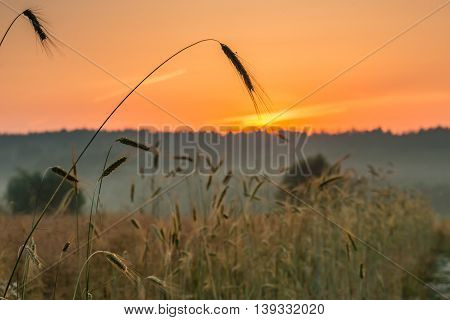 Dawn in a wheat field.  This photograph was taken at dawn in a field near Kiev.