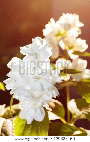 Closeup of white blooming jasmin flowers under sunny light - summer floral landscape. Terry jasmine flowers blossoming on the bush at sunrise in the garden. White flowers with green leaves