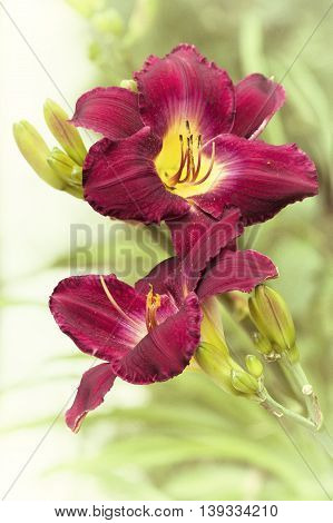 Two pink daylily flower original summer background with vignette