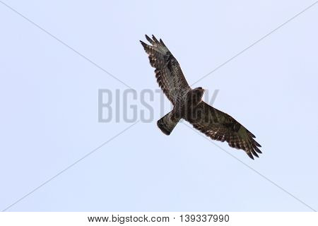 Rough-legged Buzzard (buteo Lagopus) In-flight From Below