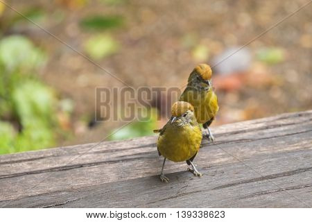Cute Chestnut-tailed Minla birds in yellow walking on wooden floor in Chiangmai, North of Thailand