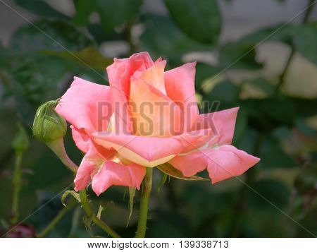 Rose Flower. Very beautiful image.