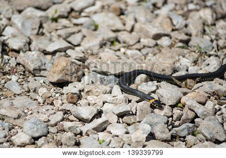 big grass snake lays on the rocks