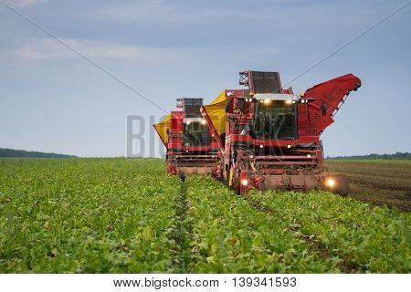 Two red combine harvesters harvest of ripe sugar beet at summer evening