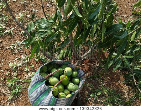 raw mangoes and mangoes leaves in india