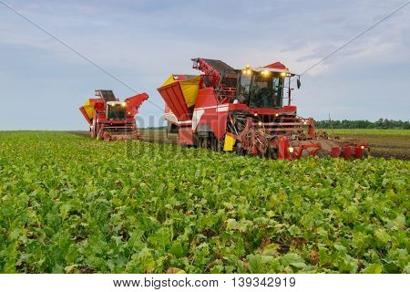 Two red combine harvesters harvest of sugar beet on field at summer evening