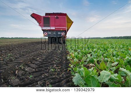 Red combine harvester harvests of sugar beet at summer evening, back view