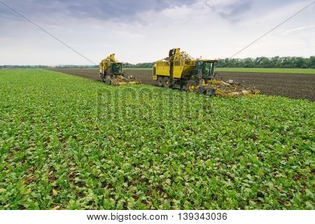 Two yellow combine harvesters harvest of sugar beet at summer evening
