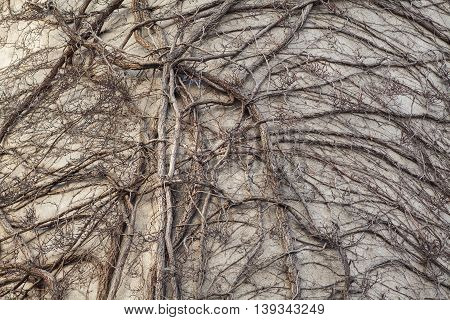 Dry ivy on the facade of the building