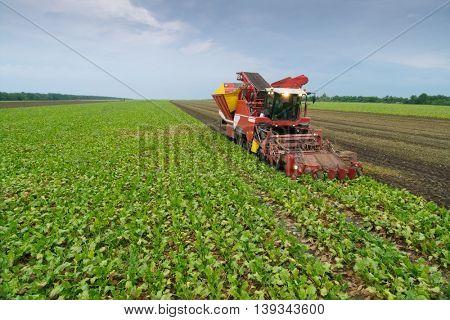 Modern red combine harvester harvest of sugar beet at summer evening