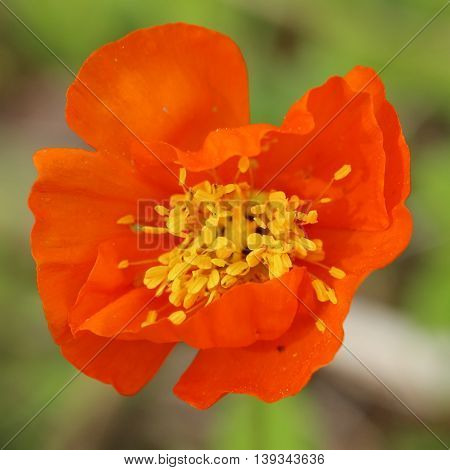 Square Shot Of Iceland Poppy (papaver Nudicaule) Blossom
